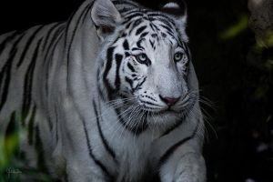 White Tiger by Bliss89