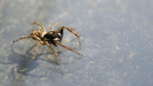 Jumping Spider (Brown) by sankyaku
