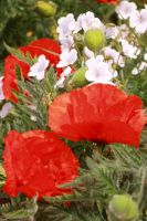 Poppies 1 by Coquin