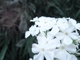 White. by Sparkle-Photography