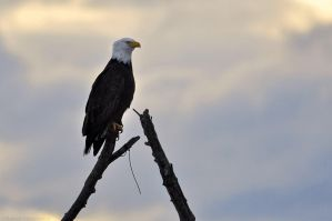 San Juan Bald Eagle - Perched by robbobert