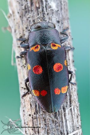 Metallic Wood Boring Beetle - Chrysobothris chryso by ColinHuttonPhoto