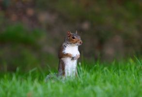 Squirrel1 by NickiStock