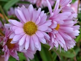 Light Pink Daisies 1 by DWALKER1047