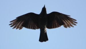 Jackdaw from underneath by CAStock