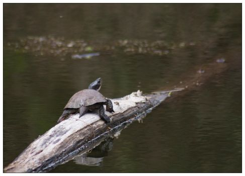 Turtle Sunbathing by Sparten