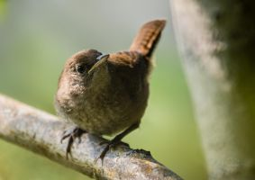 House Wren by JestePhotography