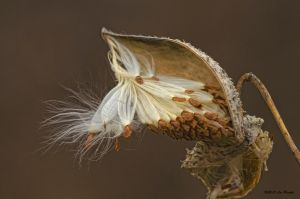 Milkweed 2 by Les-Piccolo