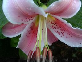 WP Pink Lily 02 by sweetlilfly