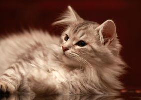 Siberian Kitten no. 1 by Mischi3vo