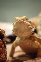 Bearded Dragon by MegMarcinkus