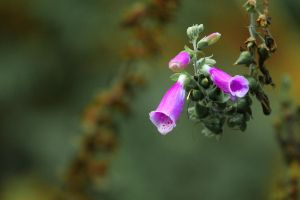 Common Foxglove by elariand