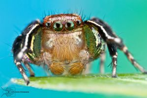 Habronattus hallani courtship display by ColinHuttonPhoto