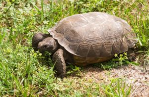 Wild Florida Gopher Tortoise by BillH-Photo