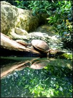 Turtle Reflections III by Tienna