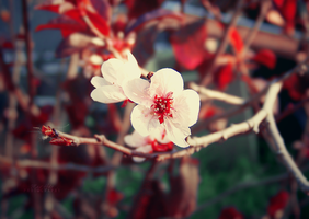Cherry Blossom by sublimelove4life