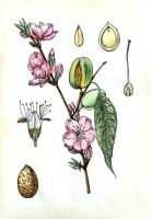 Botanical illustration, almond by oxanaart