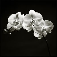 orchid by UweHof-Redmann