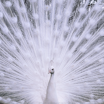 White Peacock closeup by MonsterBrand