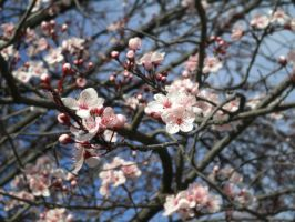 Cherry Blossoms by animeangel778
