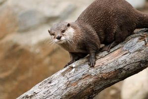 Asian Otter 16 by Art-Photo