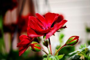 Bursting With Red by teresastreasures72