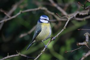 Blue Tit Twig by cycoze