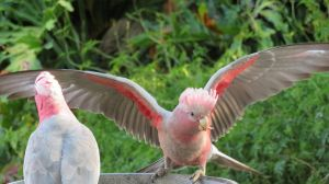 Adult and Young Galah with wings up by BGai