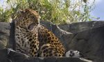 Amur Leopard by Wallcrawler62