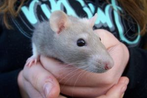 .rat. by clare-1107