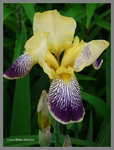 Purple and Yellow Iris by Mogrianne