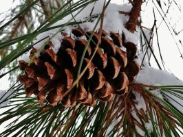 Winter Pine Cone by Matthew-Beziat
