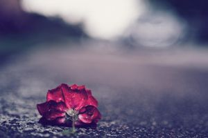 Life of a Rose by Freggoboy