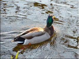 Sunny day duck by ShannonCPhotography