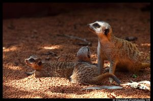 Meerkat Family by TVD-Photography