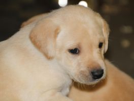Labrador Puppy by Treekami