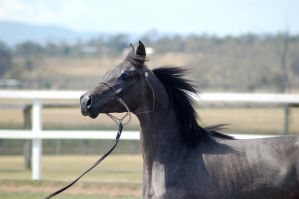 GE Arab filly grey close up side view by Chunga-Stock