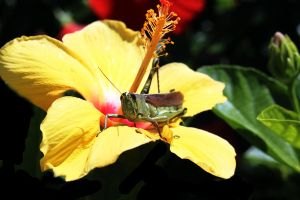 Grasshopper Resting on a Hibiscus Flower by winterface