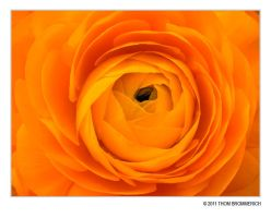 ORANGE RANUNCULUS 3 17 11 by THOM-B-FOTO