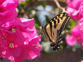 Western Tiger Swallowtail 17 by photographyflower