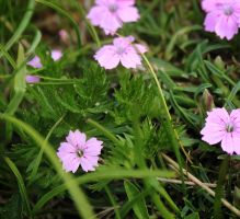 Dianthus microlepis by lapis-lazuri