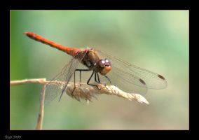 Red Dragonfly by Tanja0869