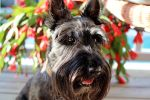 Scottish Terrier with Flowers by winterface