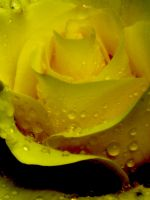 yellow rose and rain 2 by SiThHo