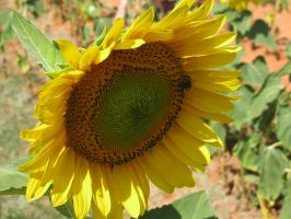 Sunflower 06 by Party-Hat-Cat