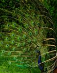 Peacock Profile by alahay