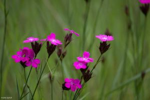 pink flowers among high grass by blacky-mo