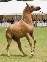 STOCK - TotR Arabians 2013-127 by fillyrox