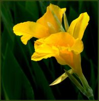 YELLOW CANNA by THOM-B-FOTO