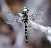 Lake Emerald dragonfly by stubirdnb